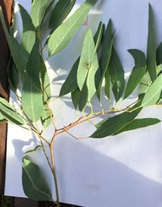 eucalipti-foglia