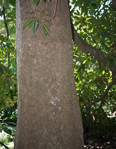 magnolia-corteccia