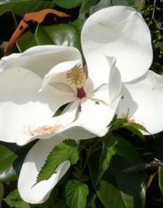 magnolia-fiore
