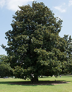 magnolia-portamento