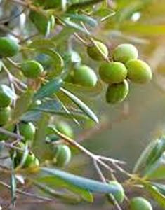 oliveto-frutto