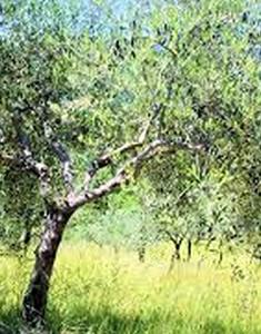 oliveto-portamento
