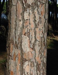 pinea-corteccia