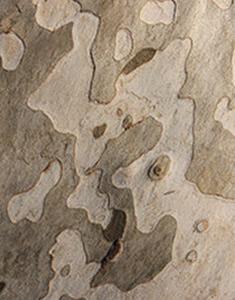 platano-corteccia