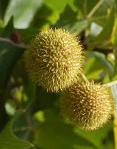 platano-frutto