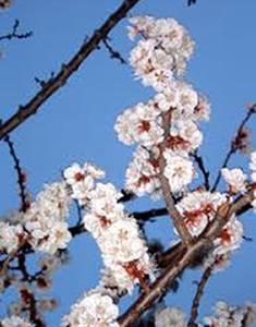 albicocco-fiori