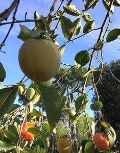 caki-frutto