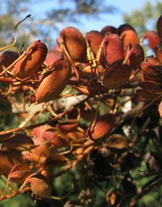 gravillea-frutto