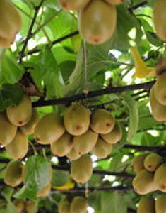 kiwi-frutto