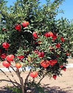 melograno-frutto