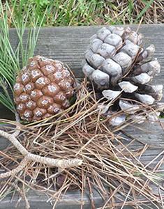 pinea-frutto