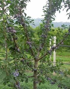 prugne-albero